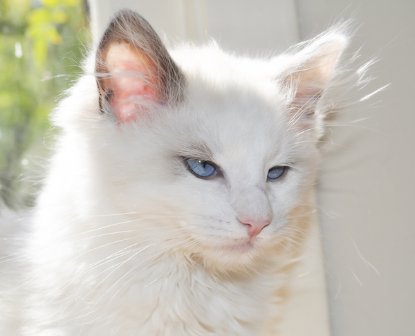 stockvault-beautiful-ragdoll-kitten122820